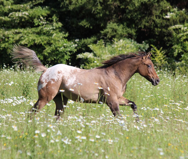 Introducing the talent, beauty and sweet nature of the Sportaloosa
