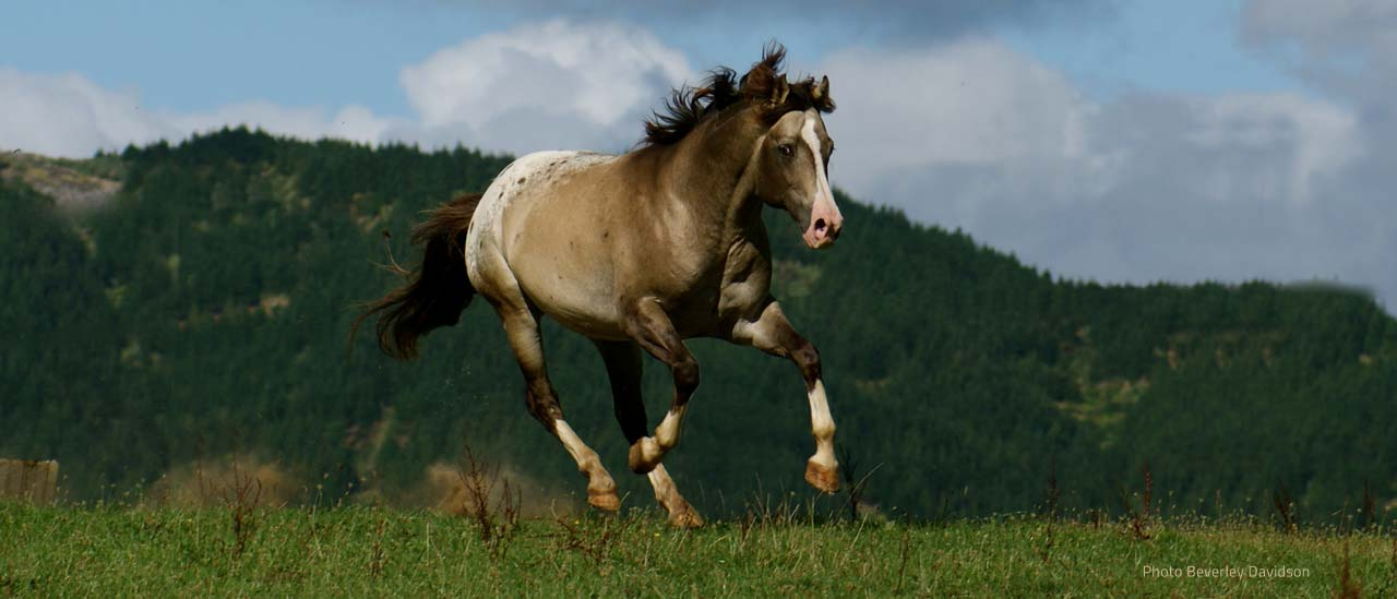 Appaloosa & Sportaloosa breeder in New Zealand - Sparkling Acres Appaloosas & Sportaloosas