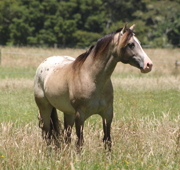 Appaloosa / Sportaloosa stallion at stud in New Zealand - Mighty Luminous at Sparkling Acres Appaloosas