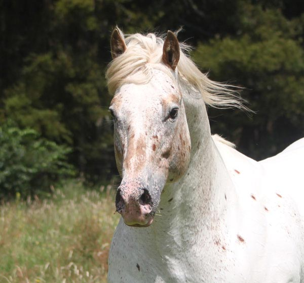 Appaloosa / Sportaloosa stallion at stud in New Zealand - Skip's Supreme imp USA