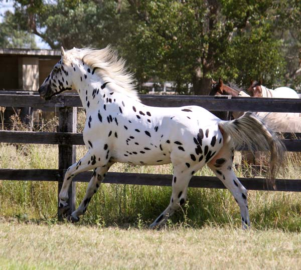 Knabstrupper stallion Sartor's Supermodel at 3 years old