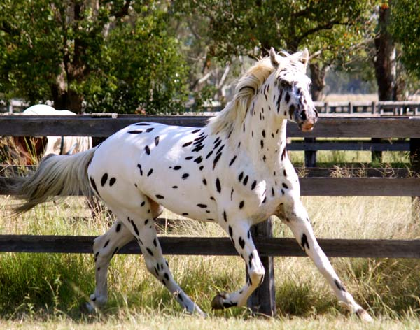 Knabstrupper stallion by frozen semen in New Zealand - Sartor's Supermodel imp Denmark