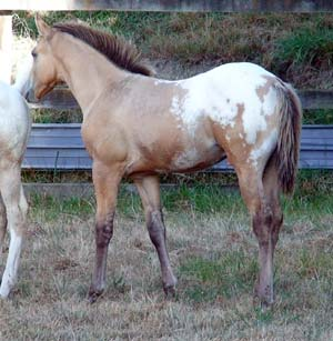 Appaloosa filly by Mighty Luminous
