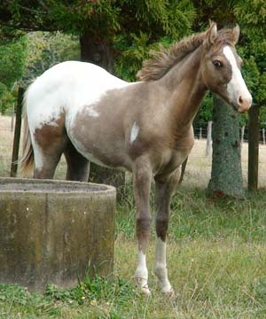 Appaloosa colt by Mighty Luminous