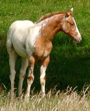 Appaloosa filly by Cayuse A Grand Illusion