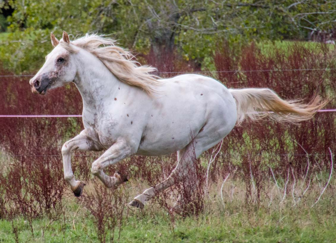 Appaloosa mare Mighty Enticing