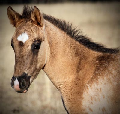 Appaloosa x Knabstrupper Sportaloosa filly Incandescent