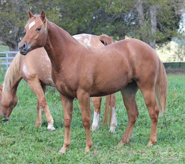 Appaloosas / Sportaloosas for sale at Sparkling Acres