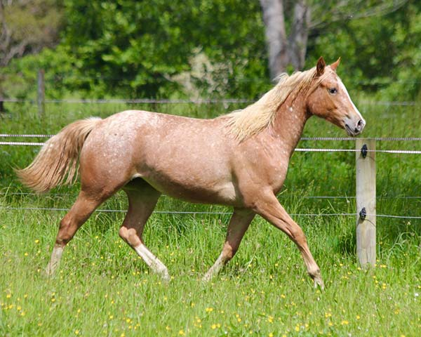 Appaloosa / Sportaloosa filly Mighty Symphonic