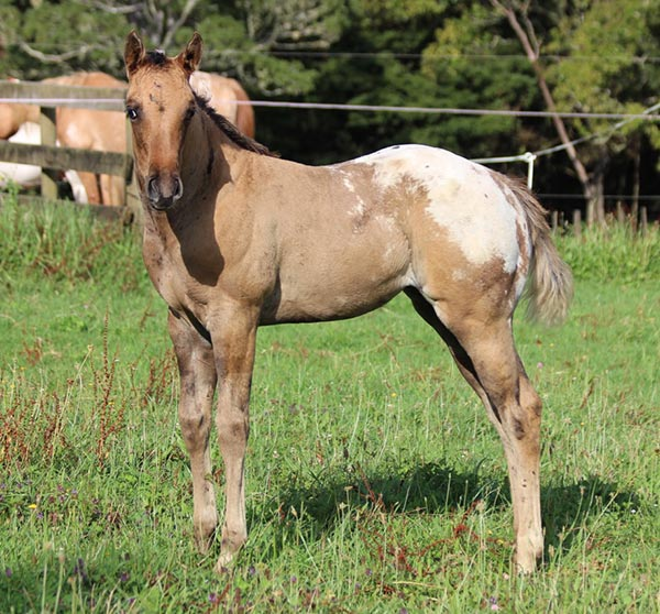 Appaloosa / Sportaloosa filly Mighty Sun Kissed