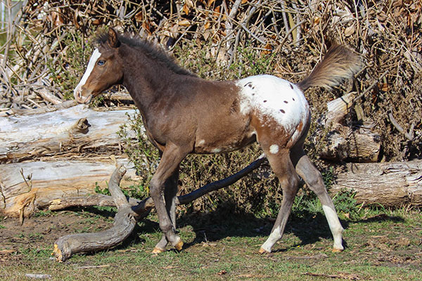 Colt by Appaloosa / Sportaloosa stallion Mighty Luminous