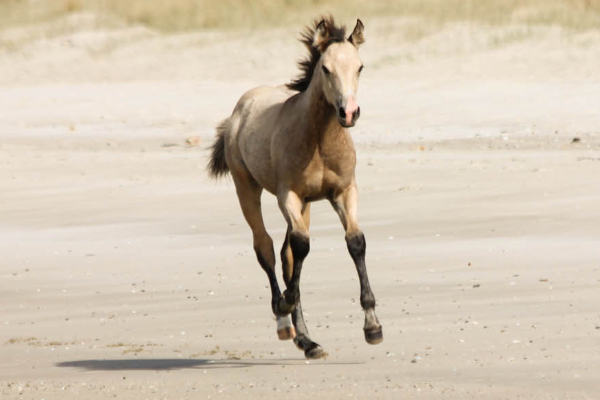 Filly by Appaloosa / Sportaloosa stallion Mighty Luminous