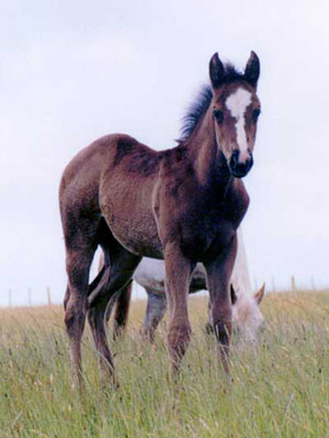 Appaloosa / Quarter Horse filly