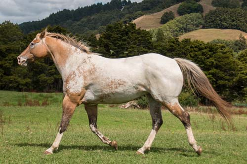 Appaloosa mare Skip's Enchantment