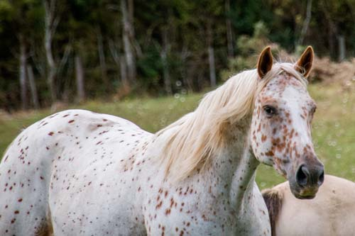 Appaloosa / Sportaloosa mare Cayuse Just An Illusion